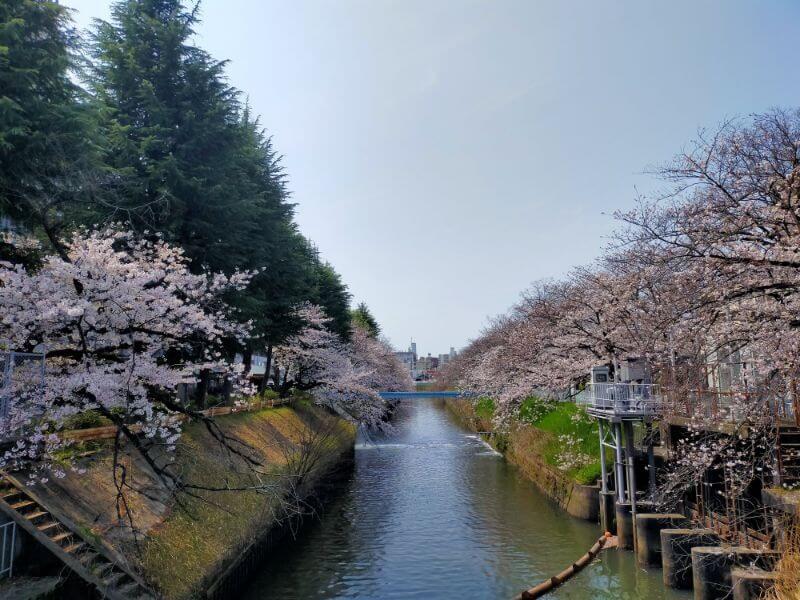 名古屋城堀の桜